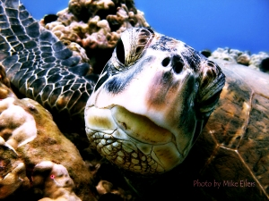 Sea Turtle off Maui Hawaii photograph by Mike Eilers, retouched by Carl Bringas
